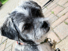 Tessie (REBEL--) Tags: dog puppy shihtzu canine terrier malteseterrier maltese malshi