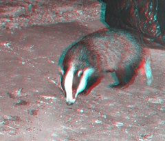Badger3D (Ian156) Tags: anaglyph badger melesmeles anaglyptic
