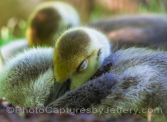 Gosling With Dewdrop Eyes (PhotoCapturesbyJeffery) Tags: life family wild baby canada cute green bird nature grass birds animal yellow outdoors geese spring infant babies child tn nashville outdoor wildlife small group lakes beak young fluffy canadian goose chick together swamps newborn chicks gosling canadiangeese migration waterfowl birdwatching brantacanadensis hatched gander nashvillezooatgrassmere pentaxk5