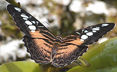 Parthenos sylvia brown morph rests on wet morning (jungle mama) Tags: parthenossylvia fairchildgarden fairchildtropicalbotanicgarden supershot parthenos specanimal parthenossylviabrown coth5 mygearandme mygearandmepremium sunrays5 wingsofthetropics vigilantphotographersunite vpu2