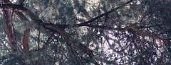 Ramass. (PetterZenrod) Tags: hojas rbol ramas