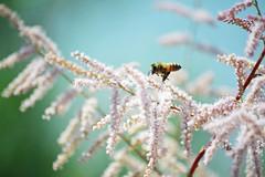 polinator [EXPLOReD!] (heartinhawaii) Tags: bee polinating polinatingbee beeonflower wildflower bokeh nature lakeside summer dreamy nikond3100 flickrlicensing
