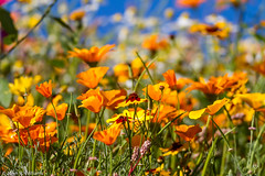 Poppies, Daisies et al: Last Flowers of Summer (Johnrw1491) Tags: california flowers wild plants nature floral daisies photography landscapes poppies dragondaggerphoto