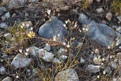 Allium moschatum (esta_ahi) Tags: barcelona espaa white flores spain flora flor allium peneds liliaceae silvestres alliaceae  santmartsarroca moschatum alliummoschatum canbarcel