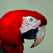Red Blue Macaw