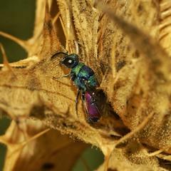 Avispa Cuco de abdomen carmesí Chrysis ignita (alcedofoto.) Tags: