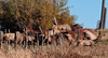 Group Jump (Amy Hudechek Photography) Tags: autumn wild mountain animals fence jump colorado action elk sanjuanmountains elkcalf happyphotographer amyhudechek
