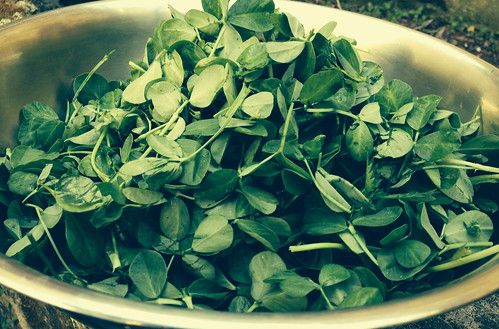 Freshly picked fenugreek leaves for toni by heymrleej, on Flickr
