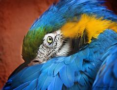 Macaw (Zsuzsa Por) Tags: bird animal zoo wildlife macaw arara coth canoneos50d canonistas avianexcellence platinumheartaward bestcaptureaoi coth5 elitegalleryaoi sunrays5 blinkwin201411