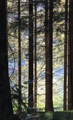(Gerlinde Hofmann) Tags: germany woods village thuringia conifer nadelbaum bürden
