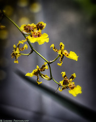 Orchids 2 (mjardeen) Tags: park flowers plants orchid color macro yellow minolta sony 100mm tacoma wright f4 a7ii