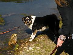 again! (rospix+) Tags: uk dog water countryside play shropshire sheepdog april stick 2015 snailbeach rospix snailbeachreservoir