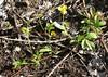 Potentilla reptans, Kriechendes Fingerkraut (julia_HalleFotoFan) Tags: rosaceae potentilla fingerkraut potentillareptans rosengewächs kriechendesfingerkraut