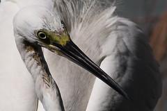 Eyeing me (N808PV) Tags: park white bird eye heron little peekaboo small tele egret 6d lumpini egretta garzetta yellowfooted