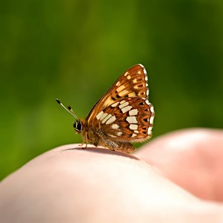 Duke of Burgundy (Hamearis lucina) [Explored]