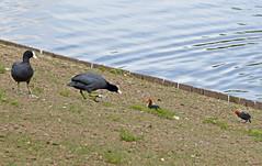 DSC_0137 copia (giuli.flaccomio) Tags: park parco lake see chicks dusseldorf düsseldorf gallinelladacqua küken pulcini gallinella