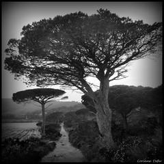 """Pin parasol"" (Corinne DEFER - DoubleCo) Tags: bw black tree blancoynegro nature arbol landscapes noiretblanc nb paysage arbre paesaggi var paysages paisagens landschaften pinparasol corinnedefer updatecollection"