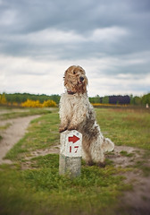 nd Basset Griffon Vendeen (Roesmeister) Tags: dog none taylor 25mm hobson f15 cooke kinic