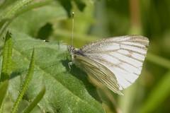 DSC_6139 klein geaderd witje (Pieris napi)