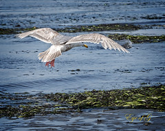 Herring Gull Low Tide food search.jpg (Eye of G Photography) Tags: family people usa beach sara places josh whidbeyisland johnny northamerica pugetsound lowtide washingtonstate skyclouds mutinybay chrisbeth chrisbethjoshsarajohnny