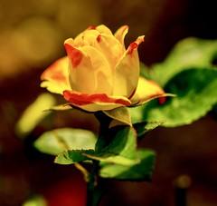 Rose. (ost_jean) Tags: rose roos bloem flowers fleurs ostjean nikon d5200 900 mm f28 colors