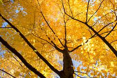 Golden jungle_MG_1343 (CFurjanic93) Tags: pennstate pennstateuniversity trees fall fallsession stude students college collegecampus bikes sun warmth foliage sky bikerack golden yellow orange
