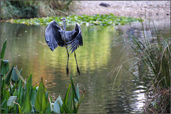 I Believe I Can Fly (Mabacam) Tags: 2016 surrey rhs royalhorticulturalsociety wisley wisleygardens garden nature bird heron pond flight feathers