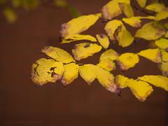 Autumn and Brick (RobertCross1 (off and on)) Tags: 40150mmf456mzuiko boston cambridge em5 harvard ma massachusetts newengland omd olympus autumn brick campus fall leaves tree university wall
