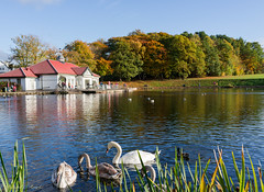 park pond (Rourkeor) Tags: giffnock scotland unitedkingdom gb park pond swans ducks water reflections autumn birds ripples trees colours colourful buildings sony sonyrx1r rx1r fullframe carlzeiss zeiss sonnar t 35mm