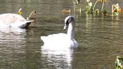 Mute Swan (blazer8696) Tags: 2016 ecw ny newyork redridgemobilehomepark stonypoint t2016 usa unitedstates anatidae anseriformes cygnus cygnusolor img4365 mute muteswan olor swan