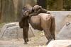 _MGL2449.jpg (shutterbugdancer) Tags: whitecheekedgibbon gorilla jackie rasha bowie fred africanlion westernlowlandgorilla zebra elephant asianelephant gracie bluebonnet elmo belle fortworthzoo gus winifred nubianibex booatthezoo
