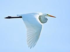 Perfect Formation (dina j) Tags: floridawildlife floridabird florida bird egret greategret flyingegret whitebird