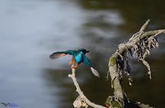 Kingfisher. (spw6156 - Over 6,560,030 Views) Tags: kingfisher iso 640cropped copyright steve waterhouse summerwatch