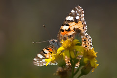 Perspectives (Luis-Gaspar) Tags: animal insect insecto butterfly borboleta beladama vanessadoscardos paintedlady vanessacardui lepidoptera papilionoidea nymphalidae nymphalinae portugal oeiras pacodearcos nikon d60 55300 f56 11250 iso400