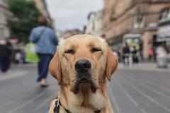 Ninja GD PUP (Sharron Burns) Tags: guidedogpuppy guidedogpupintraining dog dogphotography dogportrait shopping training outdoor liverpool streetphotography