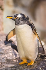 What's Up? (Thomas Hawk) Tags: america forestpark missouri mo saintlouiszoo stlouis usa unitedstates unitedstatesofamerica bird penguin zoo