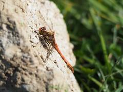 Groe Heidelibelle (Ina Hain) Tags: jagd see grn insekt green wasser nature olympus lake libelle natur heidelibelle animal macro groseheidelibelle bayern stone tier stein water ansitz