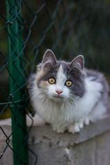 Mafalda (annfrau) Tags: cat kitten gatto micio pet canon50mmf18stm portrait