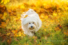 Play of colors (buchsammy) Tags: 2016 ahorn autumncolors bitzer buchsammy canonef100400mm4556lisiiusm canoneos5dmarkiv haustier havanese havaneser herbst hund hfingen jahreszeit mika oktober ralf riedsee saison samstag autumn canon dog flare pet ralfbitzerphotography badenwrttemberg deutschland de