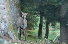 Curious Deer (female) (Guido de Kleijn) Tags: deer reddeer cervuselaphus hert schwarzwald baiersbronn blackforest guidodekleijn nikond500 nikon200500f56
