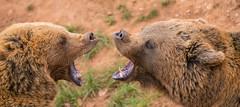 BEARFIGHT (Aitzol Arruabarrena) Tags: cabarceno d800 tokina 300 animals animaliak