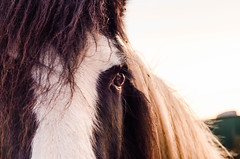 Eye. (carolinezy) Tags: pony horse black white pinto sunset equine nature outside netherlands limburg outdoor animal