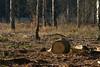 ckuchem-7204 (christine_kuchem) Tags: wald abholzung baum baumstämme bäume einschlag fichten holzeinschlag holzwirtschaft waldwirtschaft