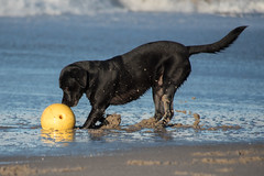 Try to digg in the sand (Flemming Andersen) Tags: buddy ball diging dog labrador retreiver sand seaside water yelllow