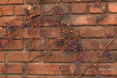 """Another brick in the wall"" (Pentax_clic) Tags: canon g12 img2108 robert warren vaudreuil quebec brique brick vigne virginie novembre 2016 pointeclaire"