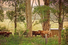 ... till the cows come home (boeckli) Tags: cows denmark kühe outdoor westernaustralia australia nature natur rinder trees bäume wiesen textures texturen texture textur topaztextureeffects 2lilowls animal tiere landscape grassland field