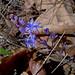 Пролеска осенняя / Prospero autumnale (Scilla autumnalis) / Autumn squill / Есенен синчец / Herbst-Blaustern