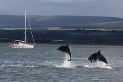 Sailing with Dolphins, Scotland. (Seckington Images) Tags: sailing dolphins scotland flickr