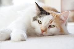Wake Me Up on Wednesday? (The Good Brat) Tags: co us catnap pet cat feline calico nap election fatigue