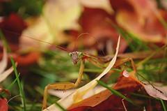 Tenodera sinensis (t. chen) Tags: prayingmantis mantis mantid insects animals nature macro dof chinesemantis tenoderasinensis